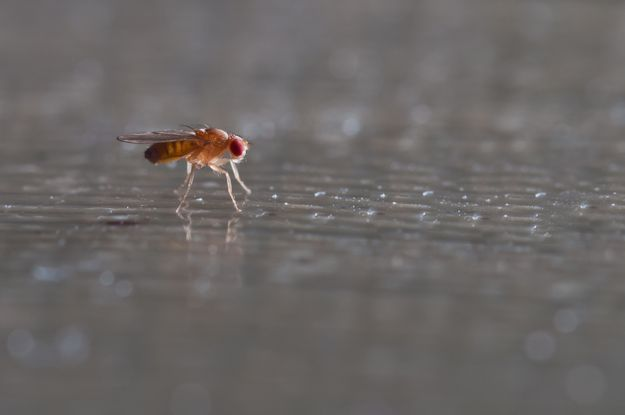 drosophila fly on grey surface