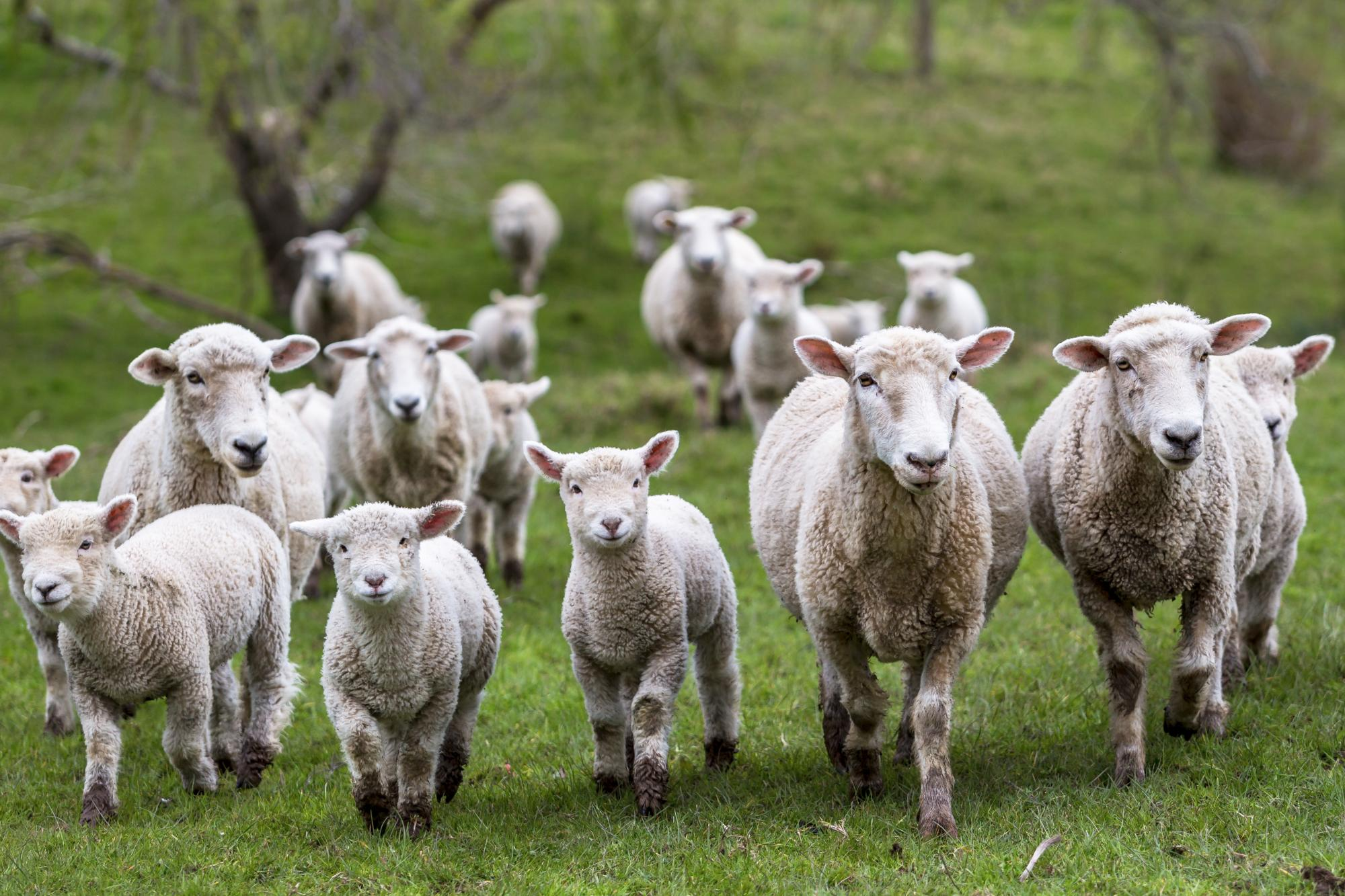 Group of sheep in field