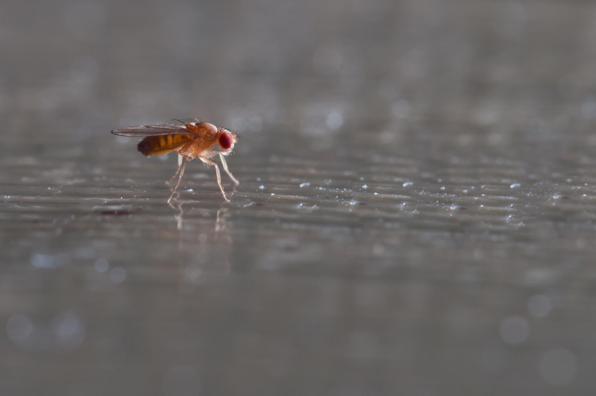 Фото рыжей мухи